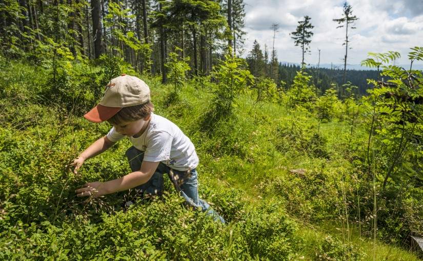 Little boy picking bilberries in the mountains